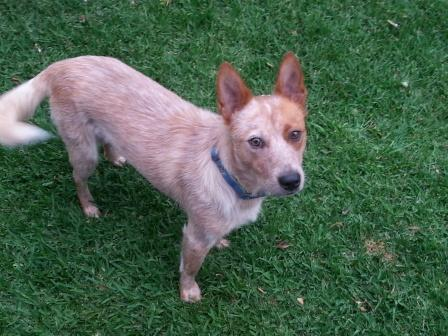 Months approx adopted by his carer australian cattle dog rescue
