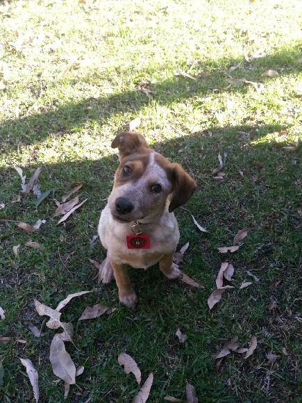 Red australian cattle dog rescue
