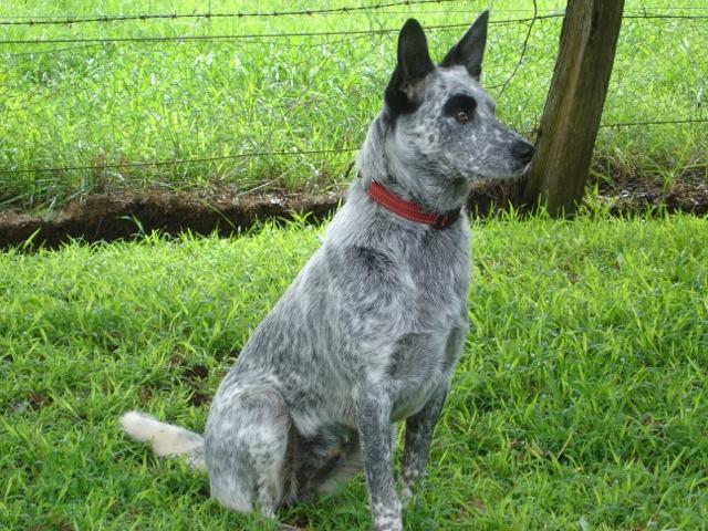 Nsw australian cattle dog rescue
