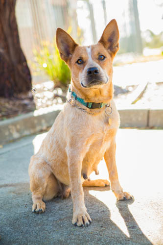 Cattle Dog Rescue Canberra  Breed of Dog : Cattle Dogs For Sale Canberra