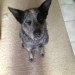 REUBEN, male ACD x, 2 years approx.