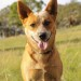 BINGO, young red ACD cross male.