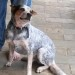 BLUEY, Handsome 18 Month Old Blue Male ACD
