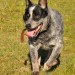 JACK, lovely young Blue Male ACD
