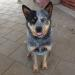 MURPHY – stuning young blue male ACD