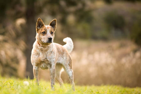 XENA – Red female ACD Mix – Approx 2 years old.