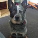 JASPA, Australian Cattle Dog, Blue Male, 2yo. URGENT