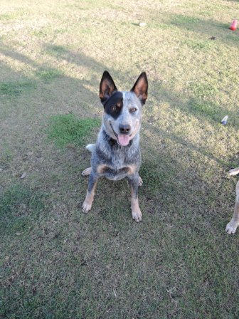 MAGGIE, Blue Female ACD, 1.5 years old, stunning ('Sister' of MILLIE)