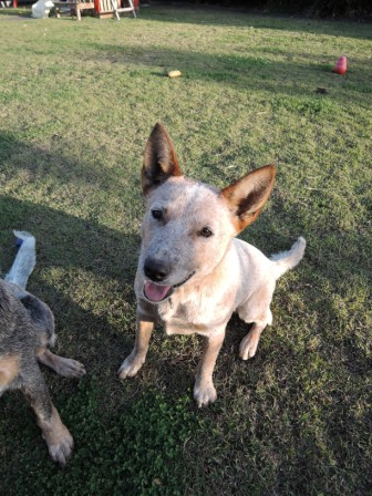 MILLIE, female, red, pretty Australian Cattle Dog, ('Sister' of MAGGIE)