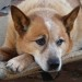 Beautiful Older Red Girl Looking for a New Home *ADOPTED*