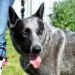 REX – Male, Blue Cattle Dog (x), Approx 5-6