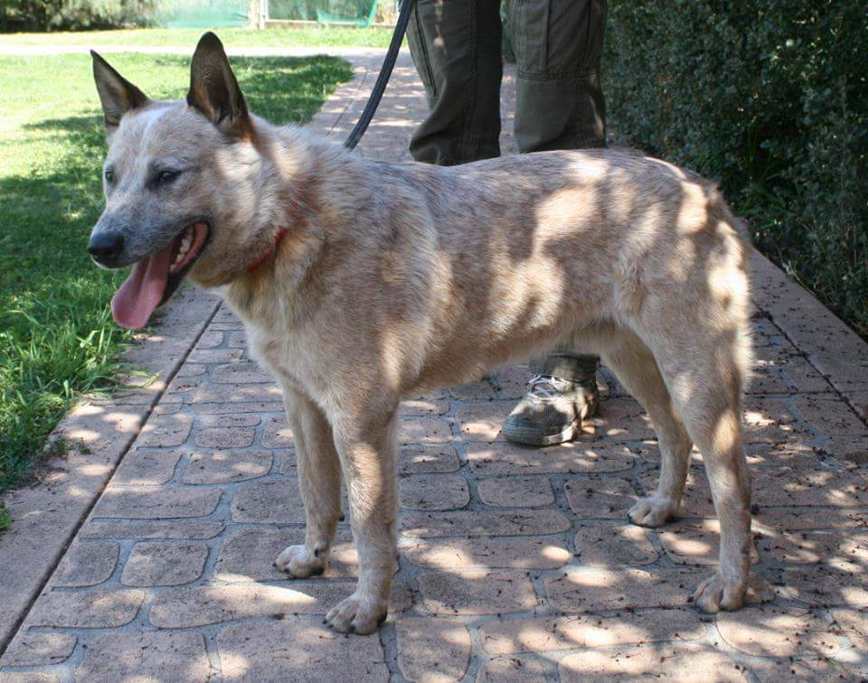 Red male astcd 2 3 years adopted australian cattle dog rescue