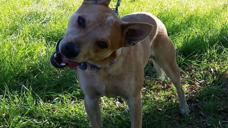 DOC – Red Male ACD x, 1-2 Years, Michelago (near Canberra)