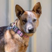 JESS – Female –  Red Heeler x – DOB: 16.02.13 – Medium Size – Southern River WA