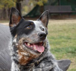 Cattle Dog Rescue Qld