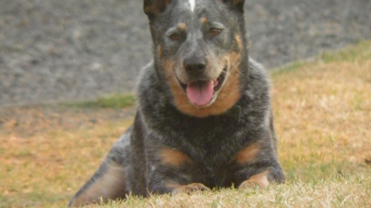 BUNDY – Stunning 8yo Blue Male ACD Sydney – Special Needs