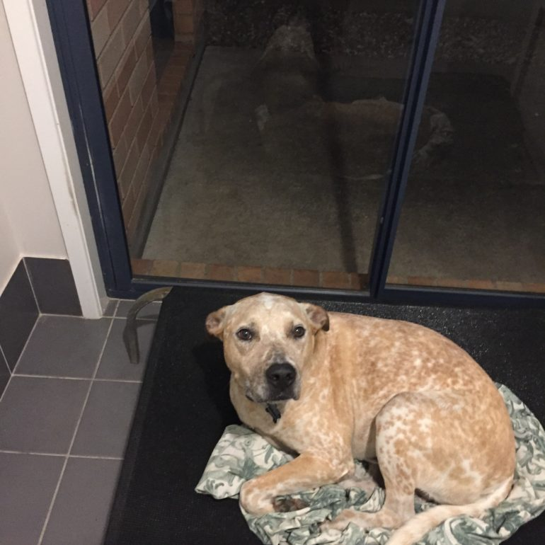 Bentley, Red Cattle Dog X, 4 years old, North Brisbane