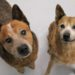 Sal & Tex, Older bonded pair, Red cattle dogs, Nowra NSW