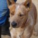 URGENT: Jax – Young Red Male ACD.  Rescue or ACD experienced home required (ACT, but interstate rescue or adoption only)