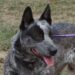 """URGENT: """"Avery"""" – Young Blue female ACD x Kelpie.  Rescue or ACD experienced home required (ACT, but interstate rescue or adoption only)"""