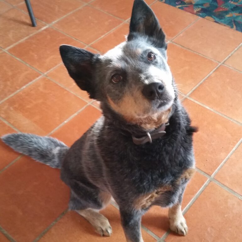 ADOPTED – Sophie, blue female ACD, 5 years old, Canberra Region