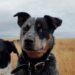 Cob, Blue Male Cattle Dog, 2yrs old, Cobargo Region, NSW